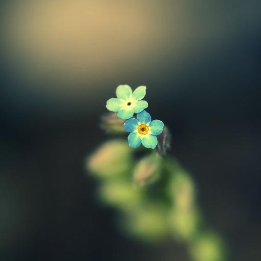 两朵蓝色小花